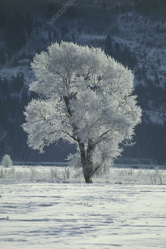 Cottonwood tree covered in ice