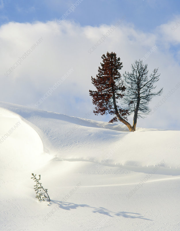 Snowdrift with Lodgepole pine.