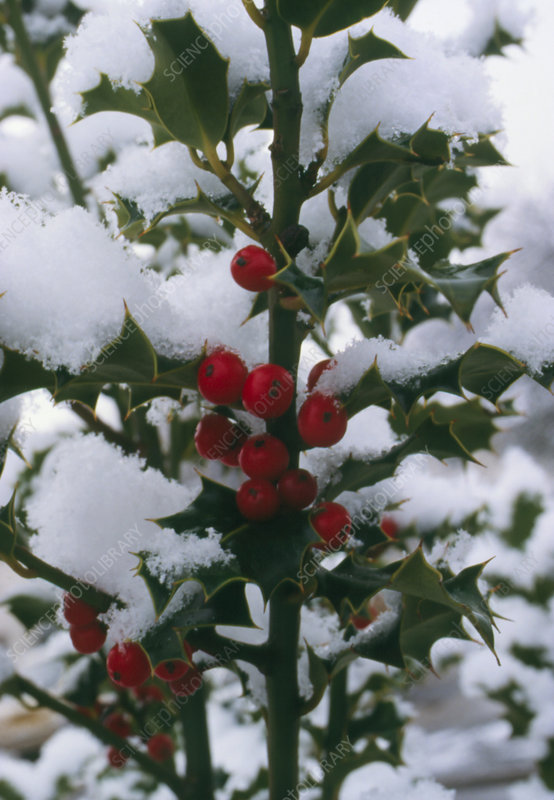 Snow-covered holly, Ilex sp., with berries