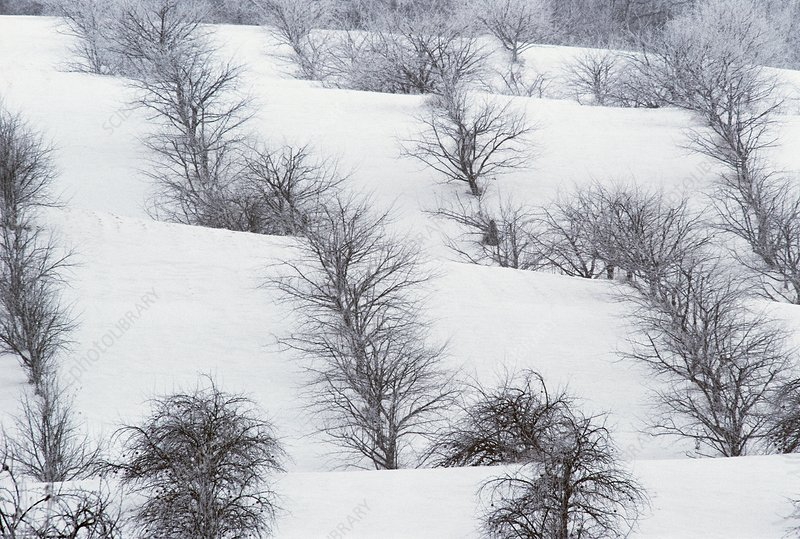 Snow-covered apple orchard