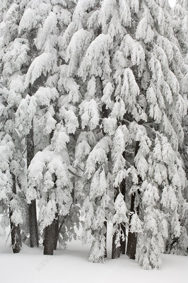 Snow and Ice on Trees
