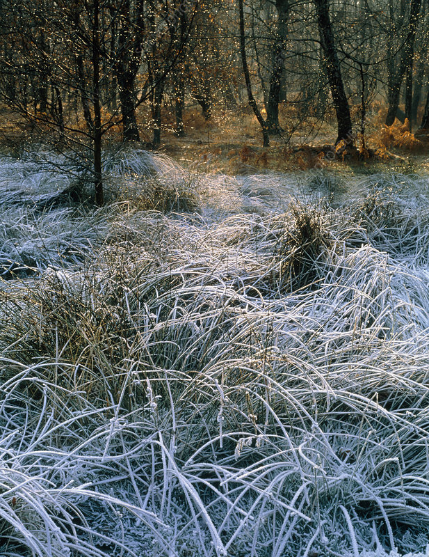 Frosty woodland edge