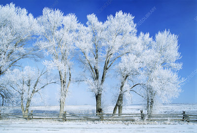 Hoar frost-covered trees