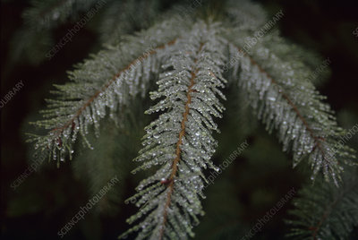Frost-covered fir needles