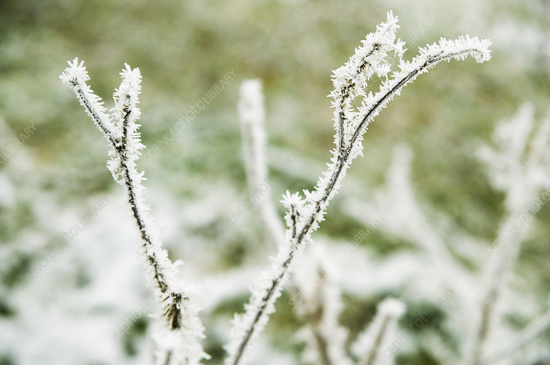 Frost on twigs