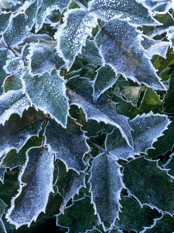 Frost on Mahonia sp