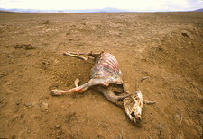 Dead cow during drought in Kenya