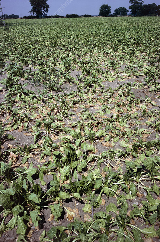 Drought stricken sugar beet