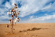 Cotton plant in drought