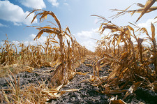 Drought-damaged crops