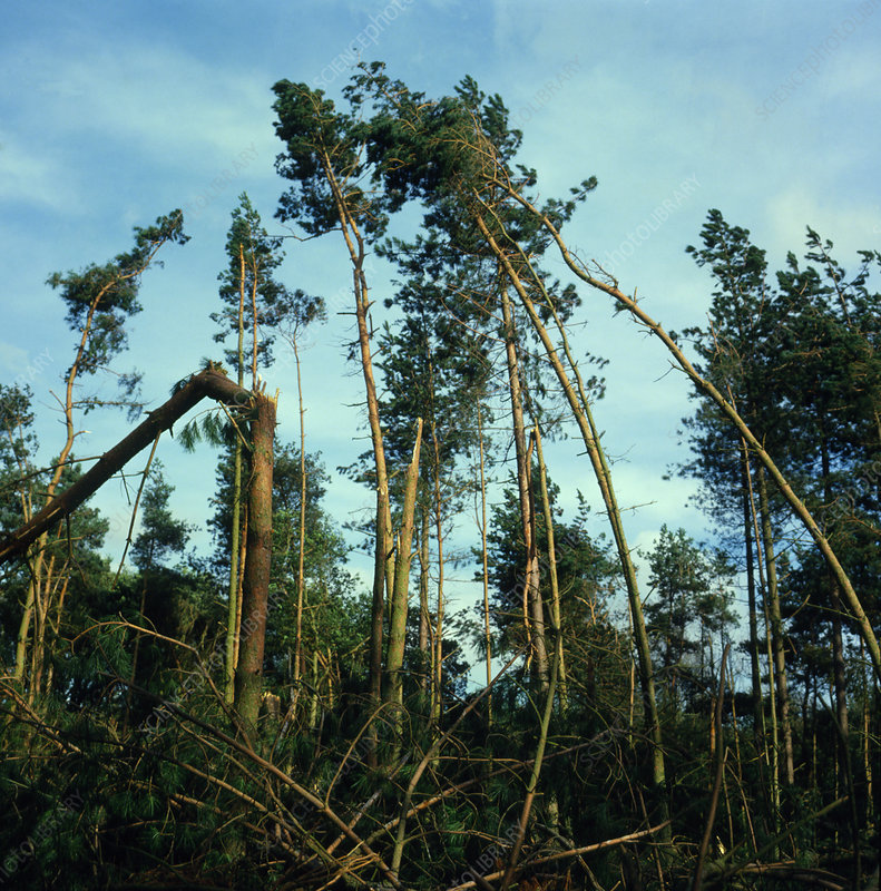Hurricane wind damage to Wensum forest, England