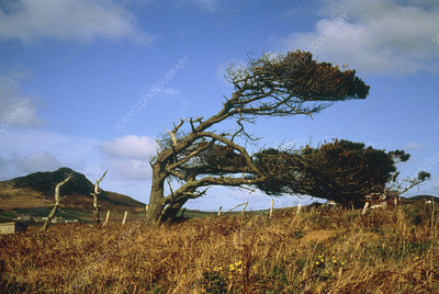 Wind affected trees