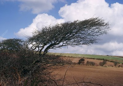 Tree affected by gales