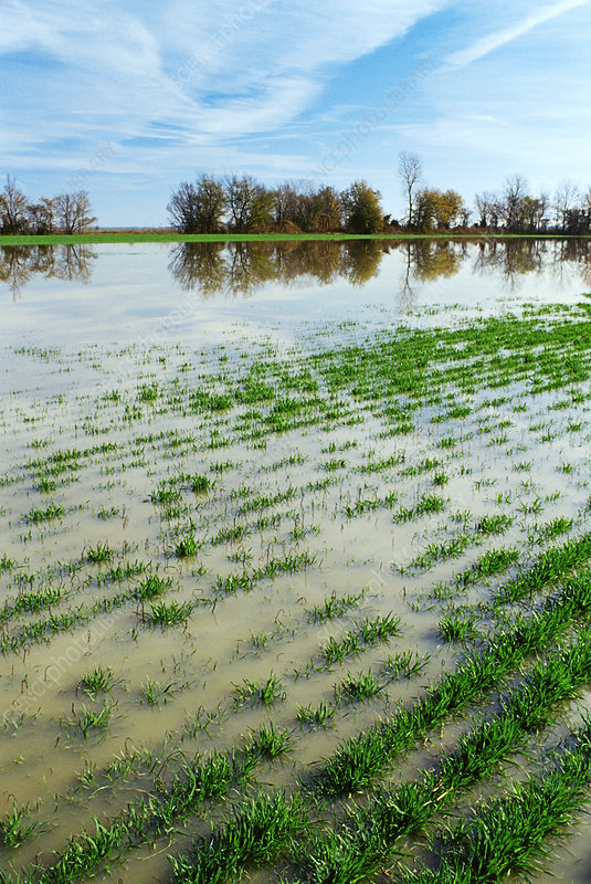 Flooded wheat field