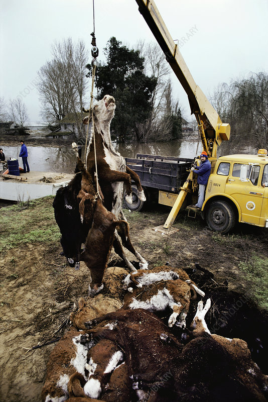 Crane lifting dead cattle