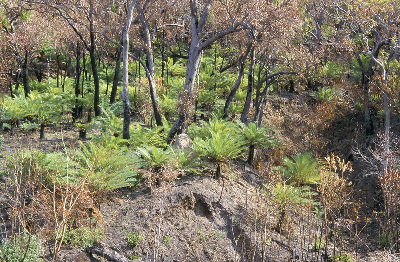 Forest fire regeneration