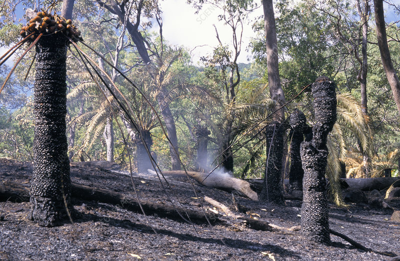 Burnt cycad trees