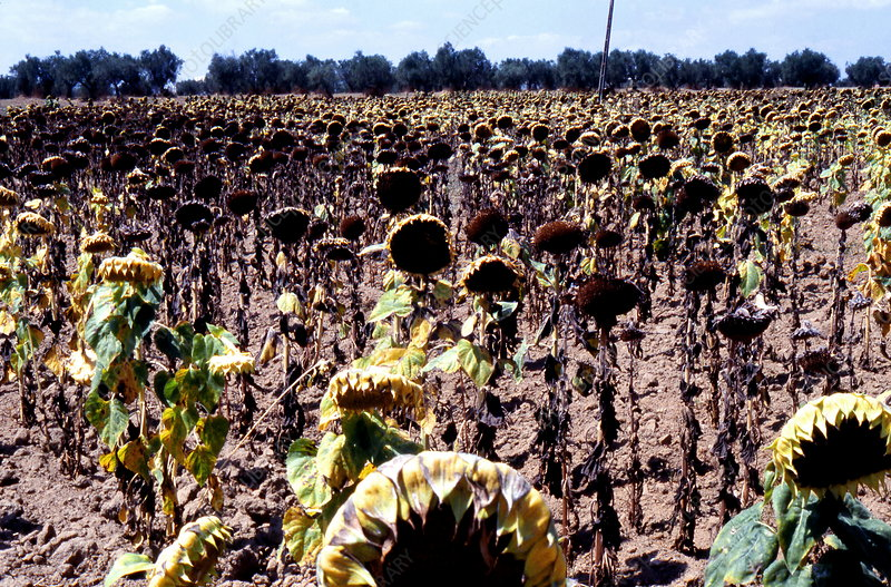Burnt sunflowers, 2003 European drought