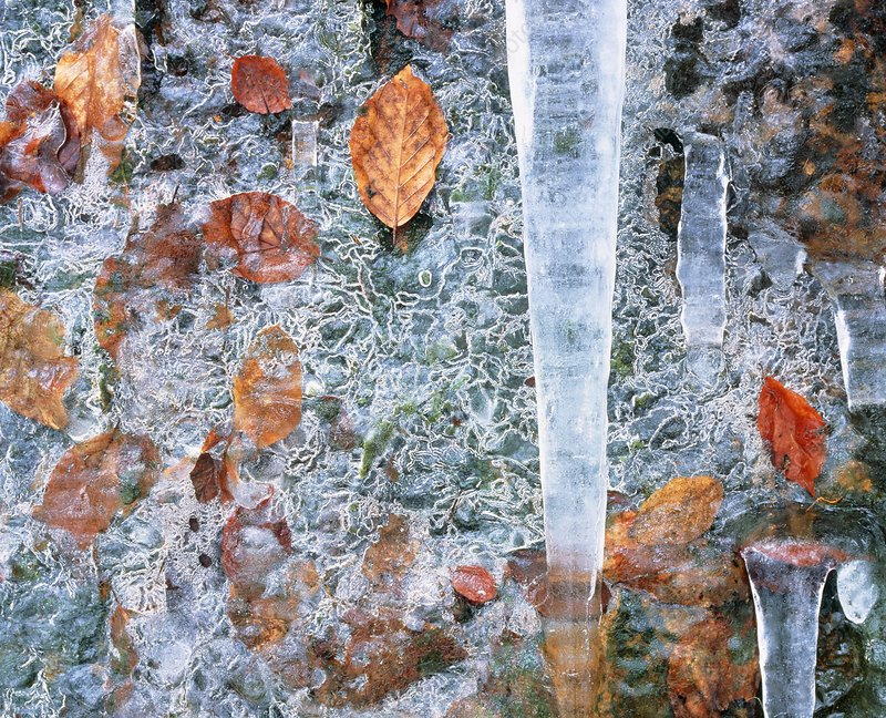 Icicles amongst frozen leaves