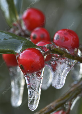 Icicles on Berries