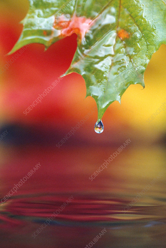 Water dripping from a Vine Maple leaf