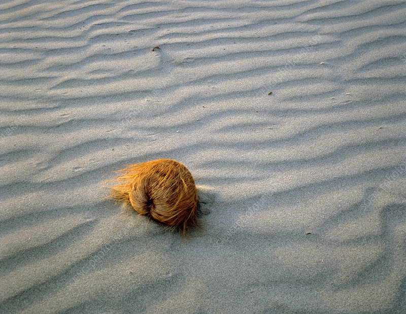 Coconut lying on a sandy beach