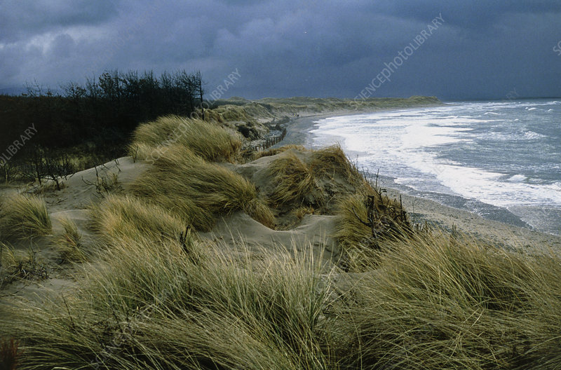 Sandy coastline with marram grass growing on dunes