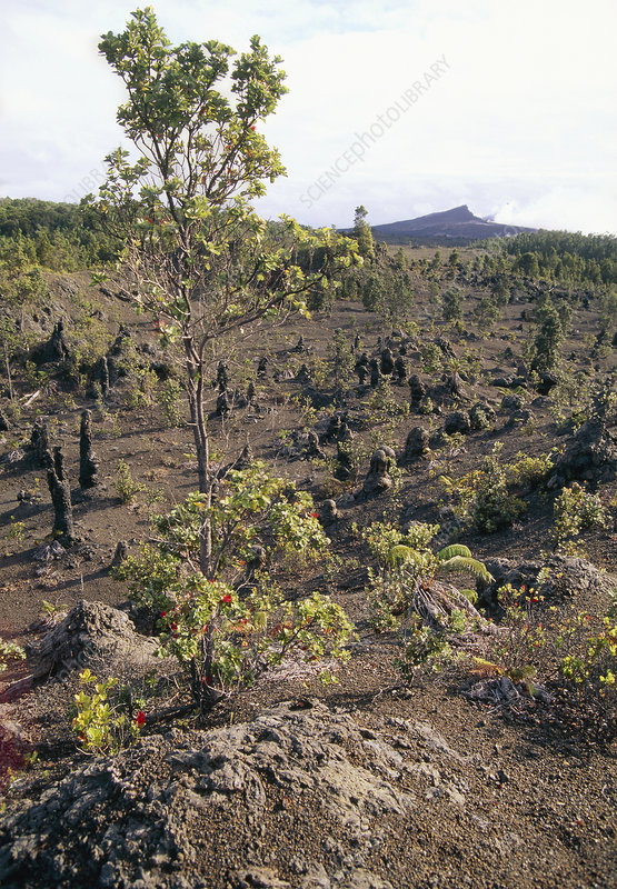 Plant regrowth on a lava flow, Hawaii