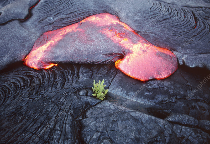 Lava flow and young plant, Hawaii