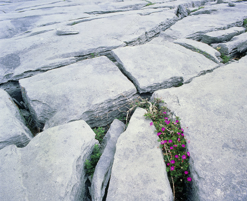 Limestone pavement with wild flowers in cleft