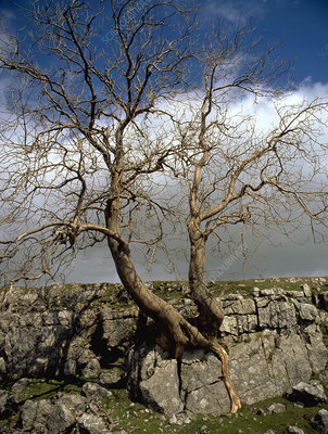 Tree growing in limestone pavement