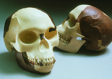 Reconstruction of Piltdown Man
