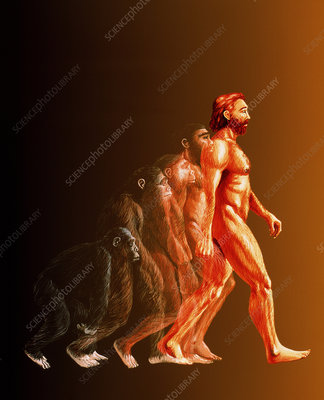 Illustration of the stages in human evolution