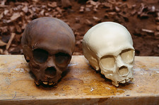 Models of fossil skulls