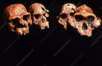Collection of fossil hominids