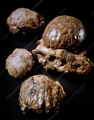 Brain casts of hominid fossil Australopithecus sp.