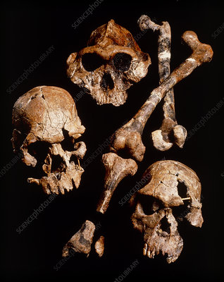 Collection of hominid fossil skulls