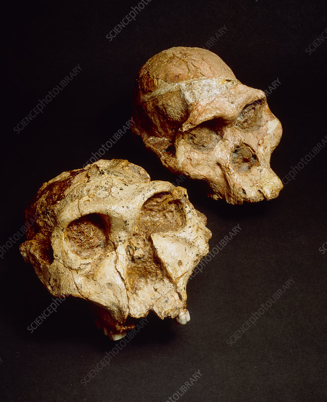 Fossils of the australopithecine group