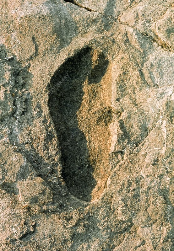 Single adult fossilized hominid footprint