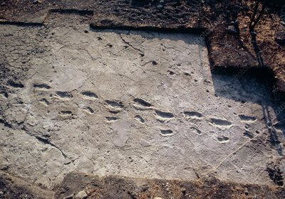 Trail of fossilised hominid footprints