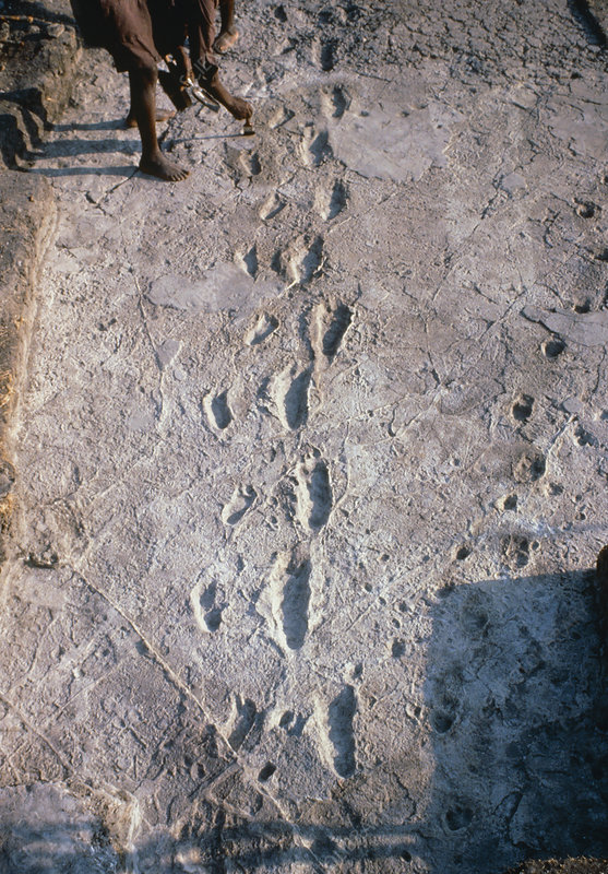 Excavation of the trail of Laetoli footprints.