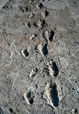 Trail of Laetoli footprints.
