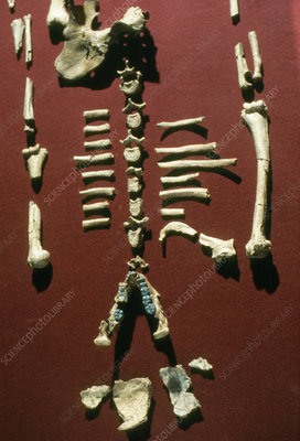 Lucy: Fossil hominid skeleton of A. afarensis