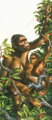 Artwork of a female Australopithecus and infant