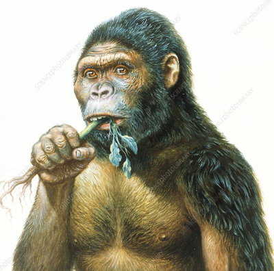 Male Australopithecus eating a plant