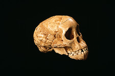Taung child fossil