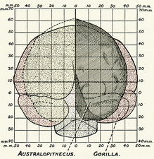 Australopithecus and gorilla brains