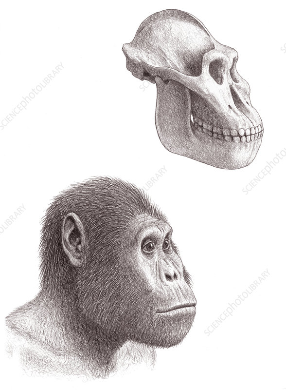 Paranthropus aethiopicus skull and head