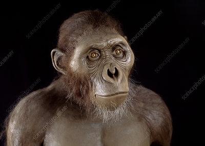 australopithecus afarensis + facial features