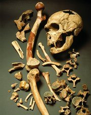 Fossil skull and bones of Neanderthal man